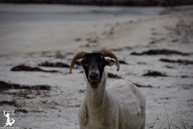 Schaf am Strand der Calgary Bay